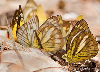 The group of yellow butterfly