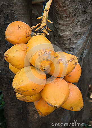 Group of yellow drinking coconuts