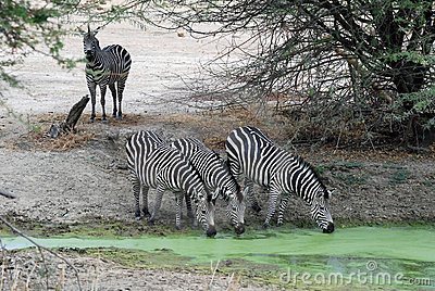 Group zebra drinking by green waterhole - Tanzania