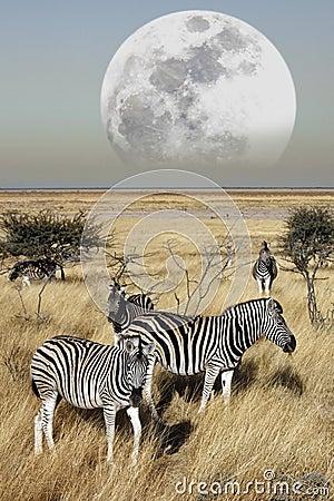 Group of Zebra (Equus quagga) - Namibia