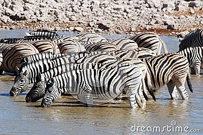 Group zebra Etosha National park