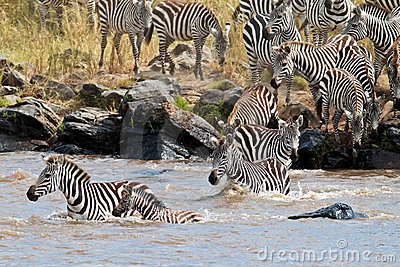 Group of zebras crossing the river Mara