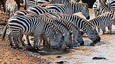 Group of zebras drinking water at the river
