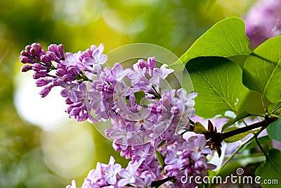 Groupe de lilas rose parfumé violet