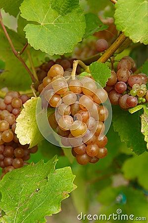Groupe de raisins