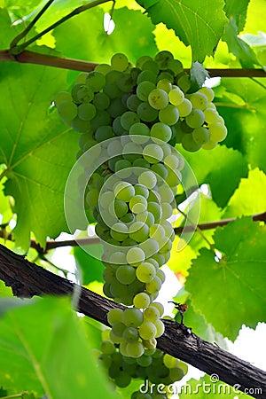 Groupe de raisins juteux