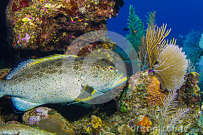 Grouper in Caymans