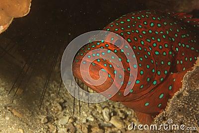 Grouper (Cephalopholis miniata)