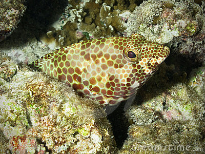 Grouper in coral reef