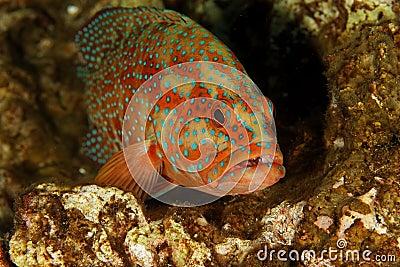 Grouper  - Similan islands, Thailand, 2011