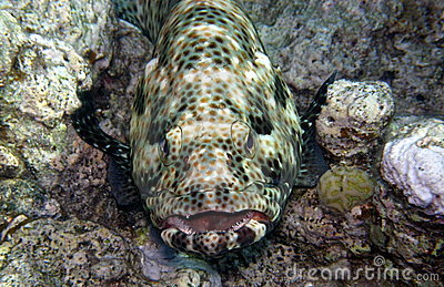Grouper What Nice Teeth You Have