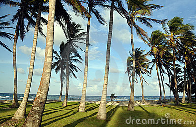 Grove of coconut trees by beach corn island