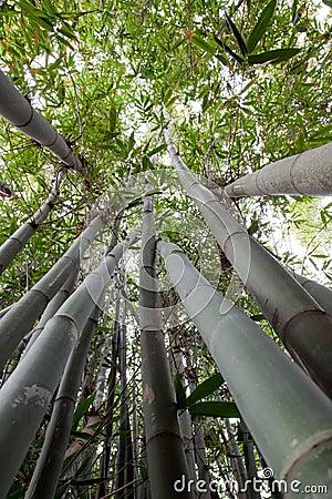 Free Grove Of Bamboo Trees Stock Photo - 12858560