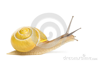 Grove snail or brown-lipped snail without dark bandings, Cepaea nemoralis