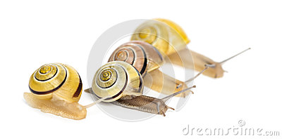 Grove snails or brown-lipped snails, Cepaea nemoralis, racing