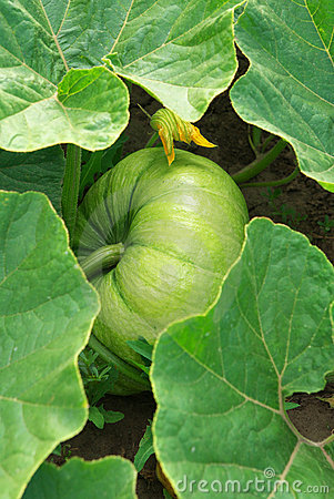 Grow pumpkin