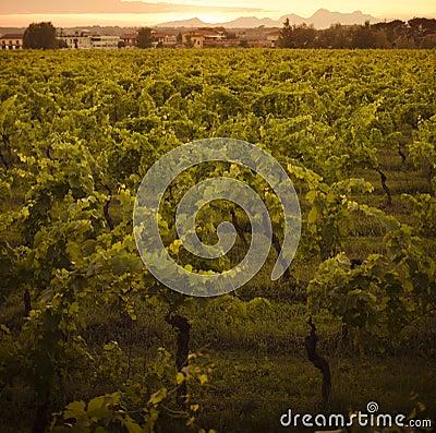 Free Growing Chianti Vines Royalty Free Stock Image - 19929536
