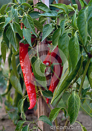 how to grow chillis and peppers in australia