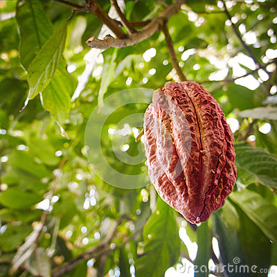 Growing cocoa bean