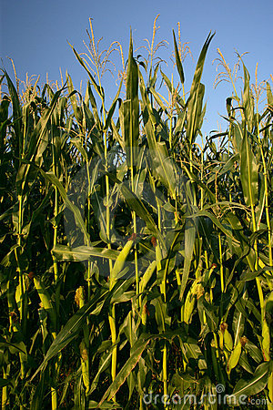 Free Growing Corn Stalks Royalty Free Stock Photo - 545145