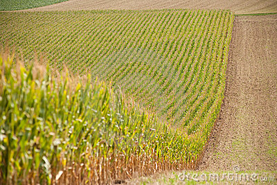 Growing cornfield