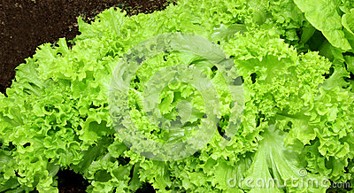 Growing corrugated leafs of salad