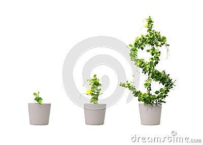 Growing dollar tree