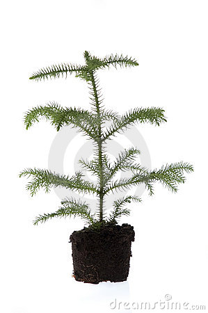 Growing evergreen plant in soil