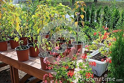 Growing flowers in pots