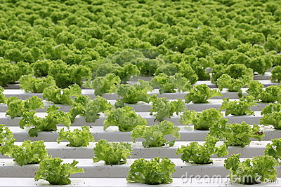 Growing of lettuce