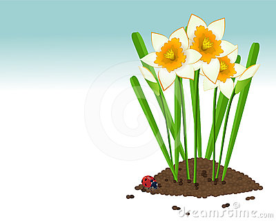 Growing narcissus