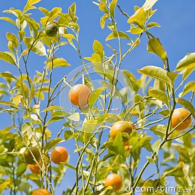 Growing oranges