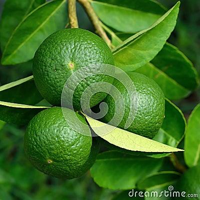 Free Growing Organic Lemons Royalty Free Stock Photos - 44171278