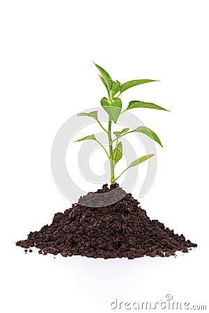 Growing a pepper plant in soil