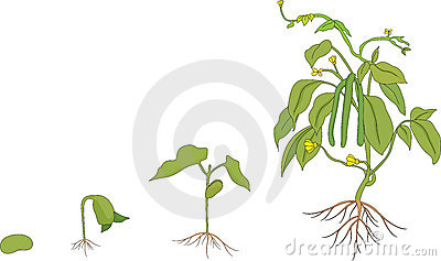 Growing Plant Stages Royalty Growing Plant Drawing