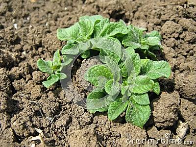 Growing potatoes in the garden bed