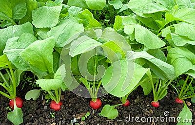Growing radish