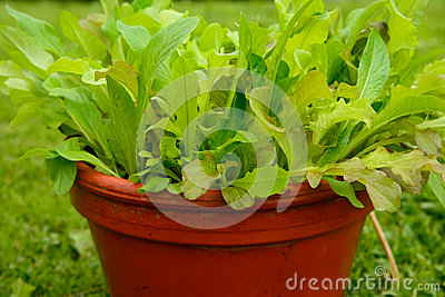 Growing salad in a pot