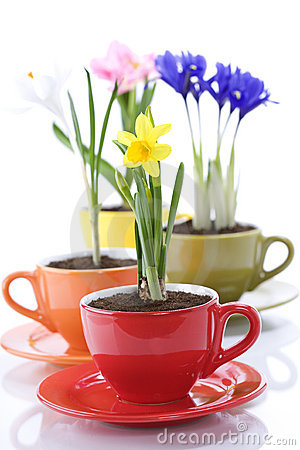 Growing spring flowers in a cup