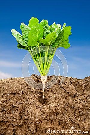 Free Growing Sugar Beet Royalty Free Stock Images - 20639659