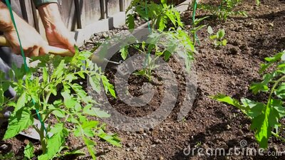 Growing of tomatoes after rain stock video footage