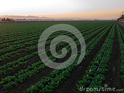 Growing vegetables in California