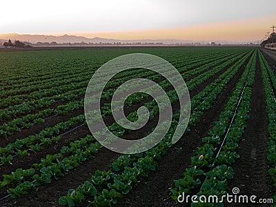 Growing vegetables in California