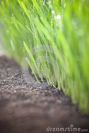 Growing Wheat Food Dirt