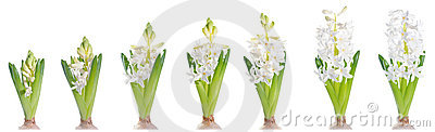 Growing white pearl hyacinth, isolated on white