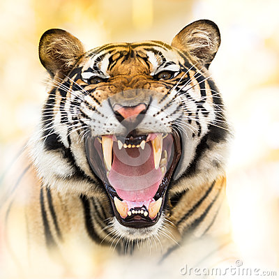 Free Growl Siberian Tiger Royalty Free Stock Image - 55883256