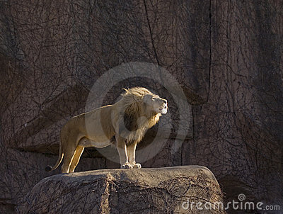 Growling lion standing on rock