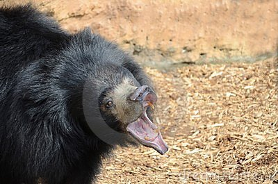 Growling sloth bear