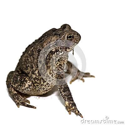 Grown American Toad