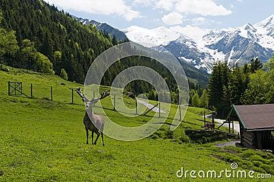 Grown deer in animal park
